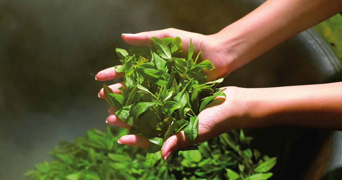 ¿Quieres obtener el máximo beneficio del té verde? Elige CamelliaSelect