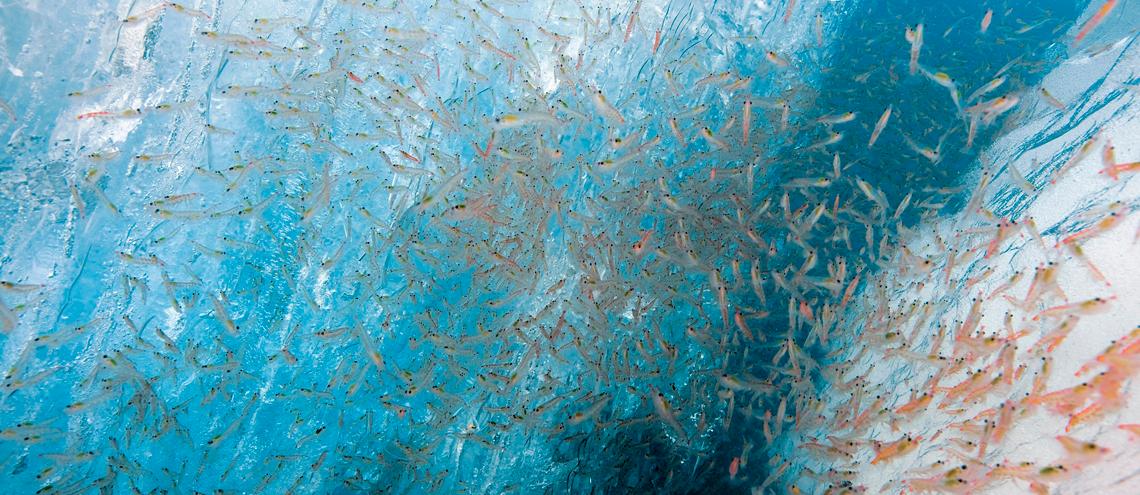 Krill Antártico: Sostenibilidad