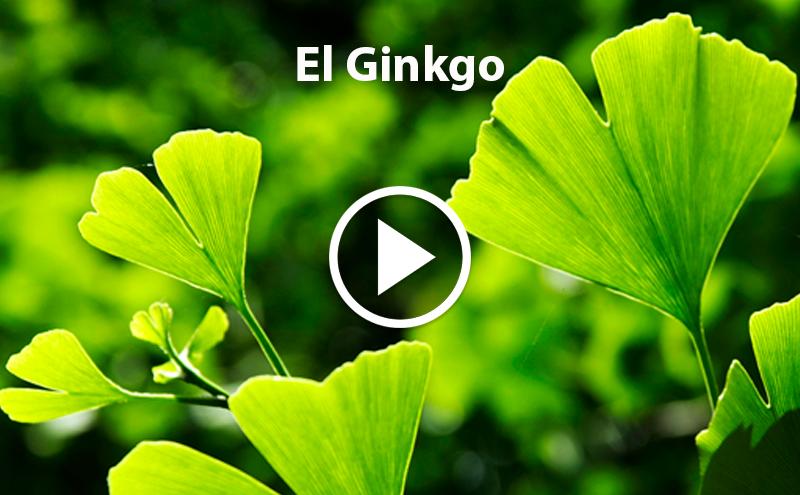 ¿Conoces el Ginkgo?